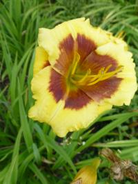 Hemerocallis hybrida  'Blackberry Candy'  Daylily flowers