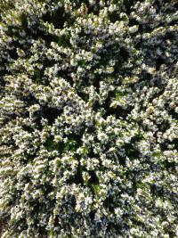 Erica carnea 'Isabell'  Winter Heath plant