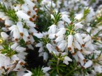 Erica carnea     'Isabell'  Winter Heath flowers