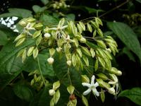 Clerodendrum trichotomum   Harlequin Glorybower flowers