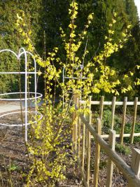 Forsythia suspensa 'Nymans'  Golden-bell plant