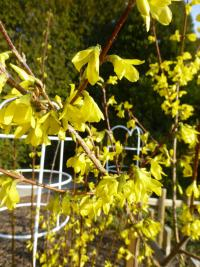 Forsythia suspensa  'Nymans'  Golden-bell flowers
