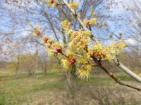 Acer rubrum      'Armstrong'  Red Maple flowers
