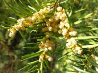 Taxus baccata    'Pendula Graciosa'  Common Yew flowers