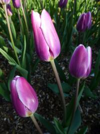 Tulipa       'Salvation Army'  Tulip flowers