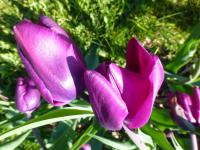 Tulipa   'Purple Rain'  Tulip flowers