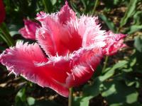 Tulipa   'Bell Song'  Tulip flowers
