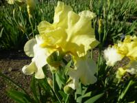 Iris barbata    'Luscious Lemon'  Bearded Iris flowers