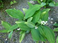 Convallaria majalis  'Albostriata' - Lily of the Valley