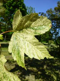 Acer pseudoplatanus     'Simon Louis Freres'  sycamore maple leaves front face