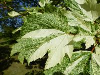 Acer pseudoplatanus   'Simon Louis Freres'  sycamore maple leaves