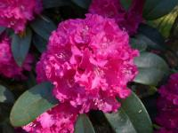 Rhododendron     'Lipnice'  Rhododendron flowers