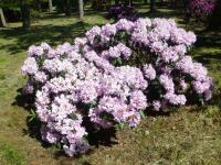 Rhododendron 'Rose Marie'  Rhododendron plant