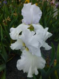 Iris barbata    'Cup Race'  Bearded Iris flowers