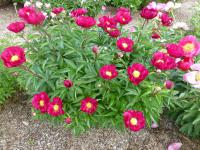 Paeonia lactiflora 'Lights Out'  Chinese Peony plant