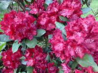 Rhododendron   'Tarantella'  Rhododendron flowers