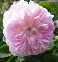 Rosa       'Maidens Blush'  Rose flowers