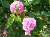 Rosa   'Louise Odier'  Rose plant