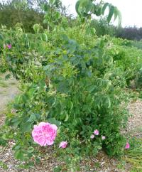 Rosa  'Marie Louise'  Rose plant