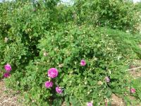 Rosa 'Belle de Crecy'  Rose plant