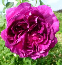 Rosa     'Belle de Crecy'  Rose flowers