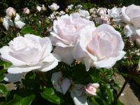 Rosa     'Constanze Mozart'  Rose flowers