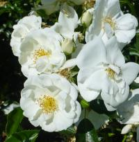 Rosa        'Innocencia'  Rose flowers