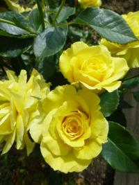 Rosa    'Friesia'  Rose plant