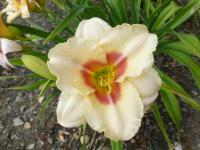 Hemerocallis   'Siloam French Marble'  Daylily flowers