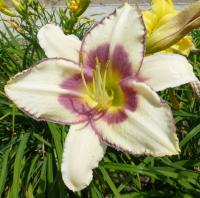 Hemerocallis     'Chicago Picotee Memories'  Daylily flowers