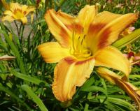 Hemerocallis    'Tiger Eye Hager'  Daylily flowers