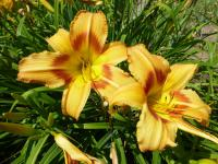 Denivka 'Tiger Eye Hager' (Hemerocallis hybrida)