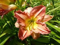 Denivka 'Thy True Love' (Hemerocallis hybrida)