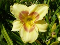 Hemerocallis    'CZ Tom'  Daylily flowers