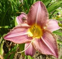 Denivka 'Seductress' (Hemerocallis hybrida)