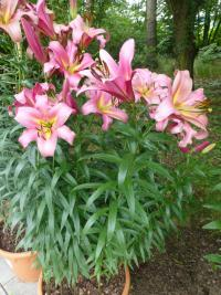 Lilie 'Space Mountain' (Lilium x hybridum)