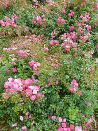 Rosa    'Lovely Fairy'  Rose plant