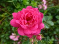 Rosa       'Lovely Fairy'  Rose flowers