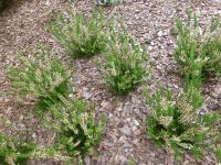 Calluna vulgaris 'Crinkly Tuft'  Heather plant