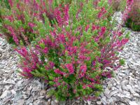 Calluna vulgaris  'Dark Beauty'  Heather plant