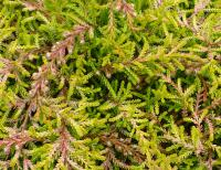 Calluna vulgaris     'Amla'  Heather plant