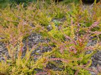 Calluna vulgaris 'Wickwar Flame'  Heather plant