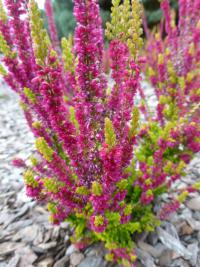 Calluna vulgaris    'Yellow Beauty'  Heather plant