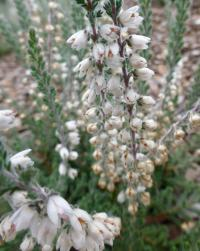 Calluna vulgaris    'Beoley Silver'  Heather plant
