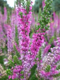 Calluna vulgaris     'Ellen'  Heather plant