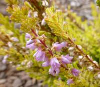 Calluna vulgaris     'Fairy'  Heather plant