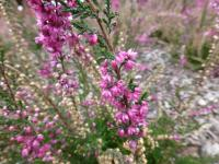 Calluna vulgaris   'Barbara Fleur'  Heather plant