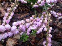 Calluna vulgaris    'Peter Sparkes'  Heather plant
