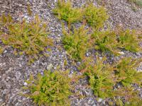 Calluna vulgaris  'Goscote Wine' - Heather