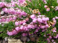 Vřes obecný 'Red Favorit' (Calluna vulgaris)